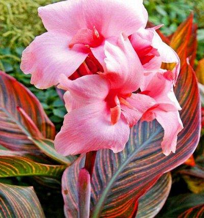 Растения! Выгодные цены! Ограниченное количество! Выбор! — Канны — Декоративноцветущие