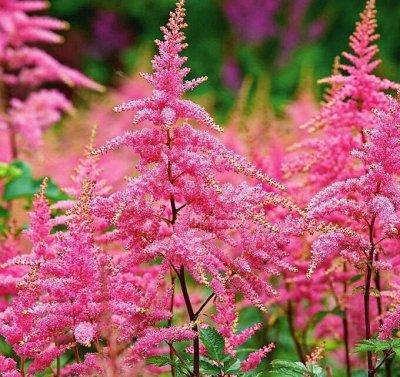 Растения! Выгодные цены! Ограниченное количество! Выбор! — Астильбы — Декоративноцветущие