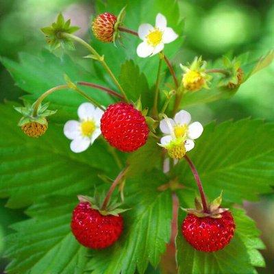 Растения! Выгодные цены! Ограниченное количество! Выбор! — Земляника садовая — Плодово-ягодные