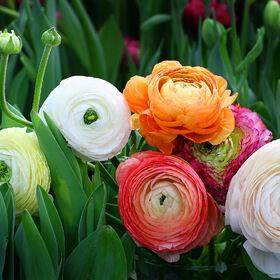 Растения! Выгодные цены! Ограниченное количество! Выбор! — Разнолуковичные — Декоративноцветущие