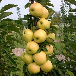 Яблоня Медок