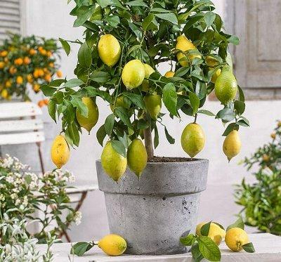 Уникальный выбор саженцев винограда! — Лимон — Декоративноцветущие