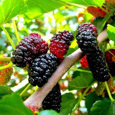 Уникальный выбор саженцев винограда! — Шелковица (Тутовник) — Плодово-ягодные