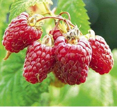 Уникальный выбор саженцев винограда! — Малина — Плодово-ягодные