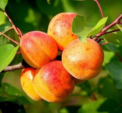 Уникальный выбор саженцев винограда! — Абрикос — Плодово-ягодные