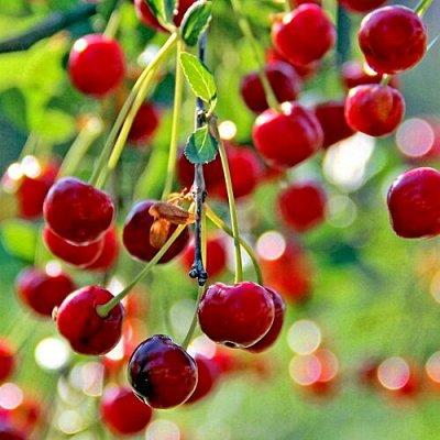 Уникальный выбор саженцев винограда! — Вишня — Плодово-ягодные