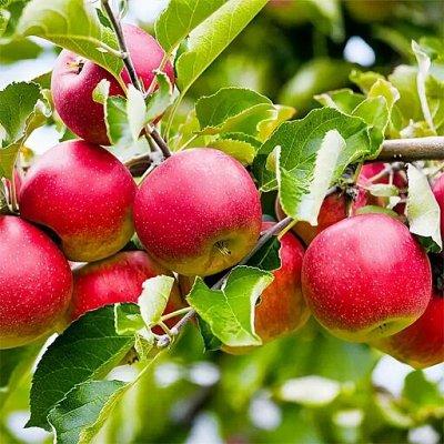 Уникальный выбор саженцев винограда! — Яблоня — Рассада и саженцы