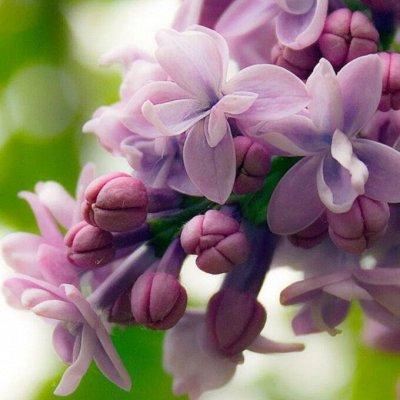 Уникальный выбор саженцев винограда! — Сирень — Декоративноцветущие