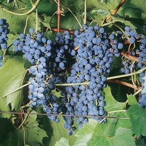 Виноград Фронтеньяк