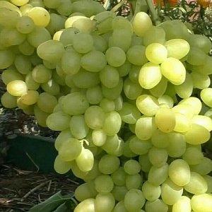 Виноград Аркадия (Настя)
