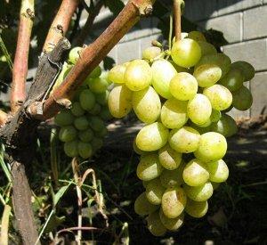 Виноград Ладанный