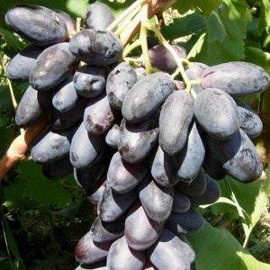 Виноград Первенец