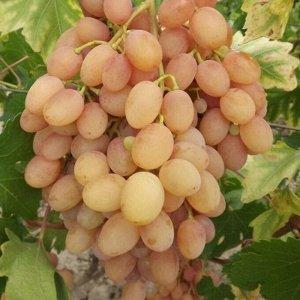 Виноград Самба (2-5-2В)
