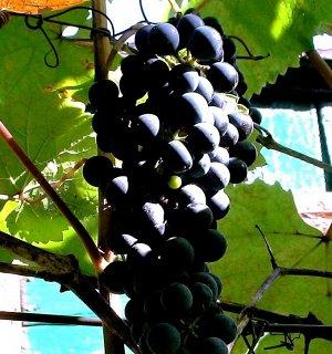 Виноград Эфиоп