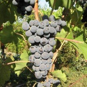 Виноград Гранатовый магарача