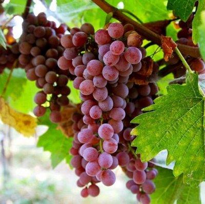 Уникальный выбор саженцев винограда! — Ранние сорта — Плодово-ягодные