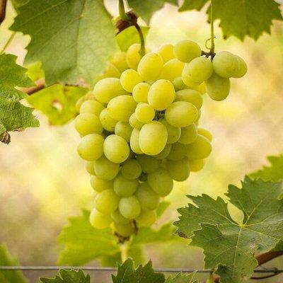 Уникальный выбор саженцев винограда! — Зимостойкие сорта — Плодово-ягодные