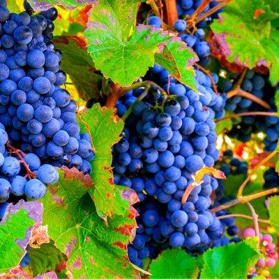 Уникальный выбор саженцев винограда
