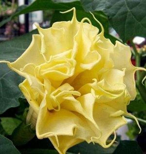 Датура (Дурман) Желтый рыцарь Плазма