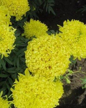 Бархатцы Лимонное чудо прямостоячие 0,1г А