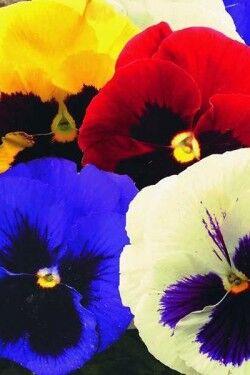 Виола Швейцарские гиганты,смесь окрасок 0,1г А