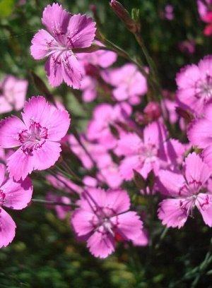 Гвоздика альпийская Розовая Лужайка 0,05г Плазма
