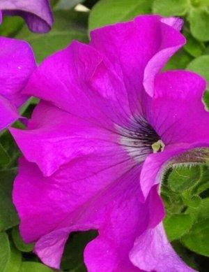 Петуния Лимбо Вайолет крупноцветковая Плазма