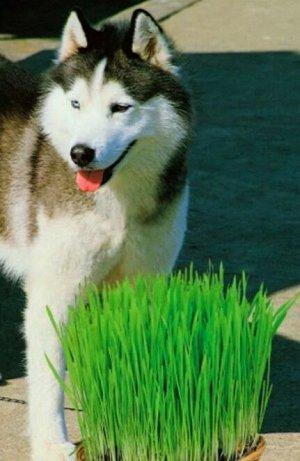 Трава для собак Дружок 10г Г