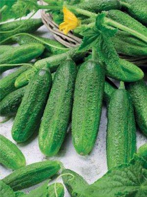 Гинго Цена указана за упаковку семян Среднеспелый, партенокарпический (самоопыляемый) гибрид. Растение среднеплетистое. женского типа цветения. Лист маленький, зеленый. Плод цилиндрический, слаборебри