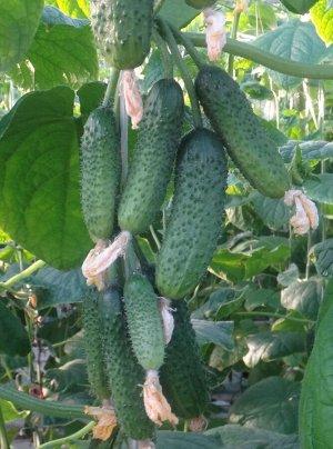 Балконный Цена указана за упаковку семян Скороспелый (42-47 дней от всходов до плодоношения) партенокарпический гибрид