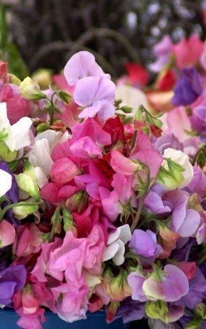 Горошек многолетний Разноцветие 0,5 г Г