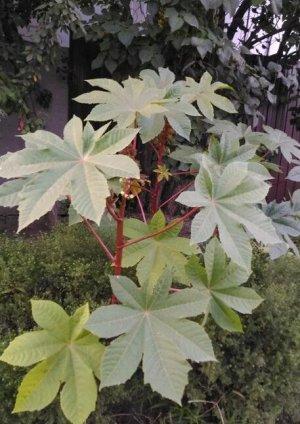 Клещевина Райское дерево 2г А