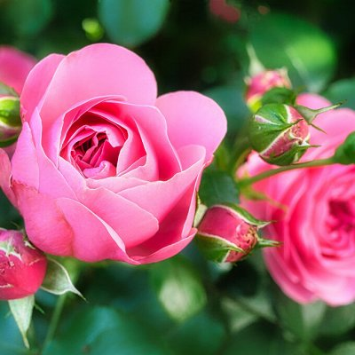 Распродажа луковичных и семян! Количество ограничено! — Розы чайно-гибридные — Декоративноцветущие