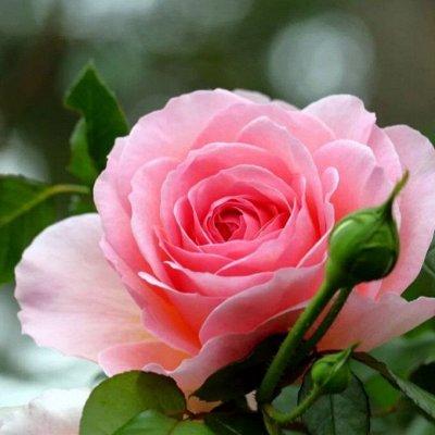 Распродажа луковичных и семян! Количество ограничено! — Розы (прочие виды) — Декоративноцветущие