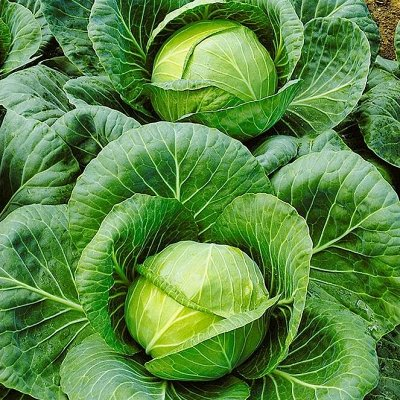 Распродажа луковичных и семян! Количество ограничено! — Капуста — Семена овощей