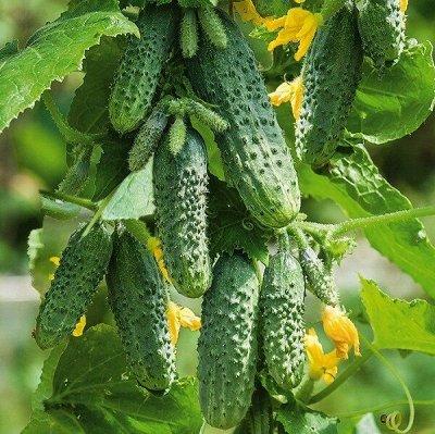 Распродажа луковичных и семян! Количество ограничено! — Огурцы — Семена овощей