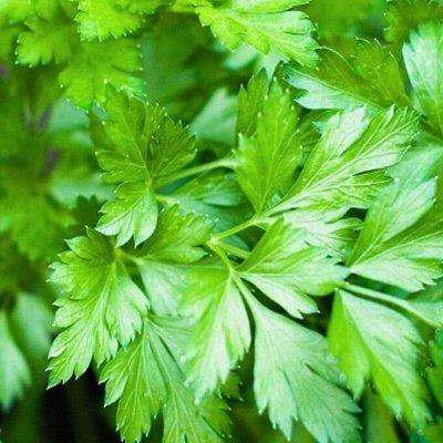 Распродажа луковичных и семян! Количество ограничено! — Петрушка — Семена зелени и пряных трав