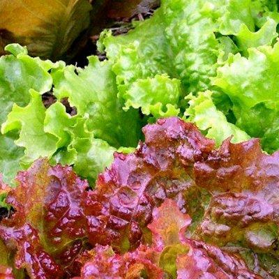 Распродажа луковичных и семян! Количество ограничено! — Салат, руккола — Семена зелени и пряных трав