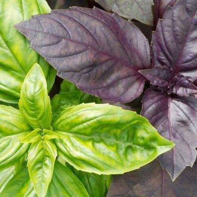 Распродажа луковичных и семян! Количество ограничено! — Базилик — Семена зелени и пряных трав