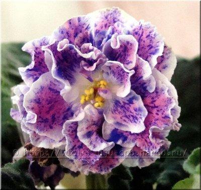 Цветочный дворик 💐 — Фиалки. Укорененные листья