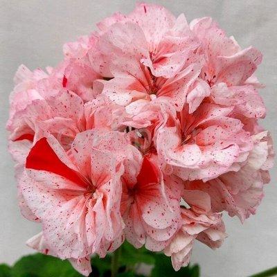 Цветочный дворик 💐 — Пеларгонии