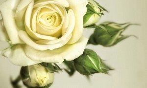Фотообои Бежевая роза