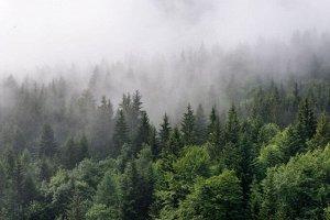Фотообои Утро в хвойном лесу