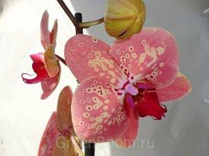 Phalaenopsis wild peach