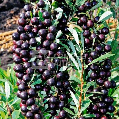 Саженцы винограда и не только -30% — Саженцы скидка -30%