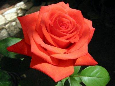 ✿✿✿Лилия✿ Роза — королева сада✿✿✿ СУПЕР ЦЕНА — Роза