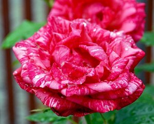 Роза чайно-гибридная Пинк Интуишн (Pink Intuition Hybrid)
