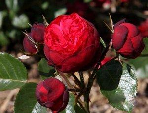 Чайно-гибридная роза Пиано