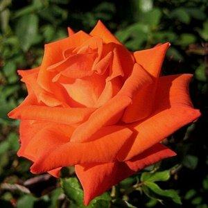 Роза Моника чайно-гибридная