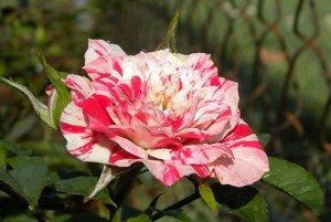 Роза миниатюрная Твистер (Twister)